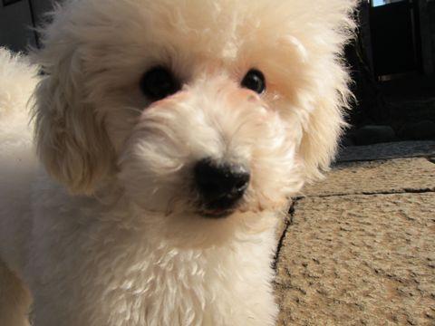 プードルフントヒュッテ東京トイプードルかわいい子犬こいぬ文京区本駒込hundehutte仔犬プードルショータイプブリーダープードルカットトイプードル画像576.jpg