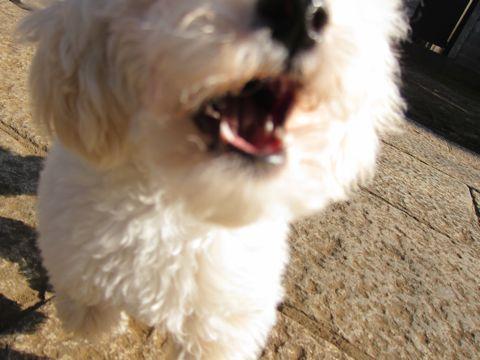 プードルフントヒュッテ東京トイプードルかわいい子犬こいぬ文京区本駒込hundehutte仔犬プードルショータイプブリーダープードルカットトイプードル画像577.jpg