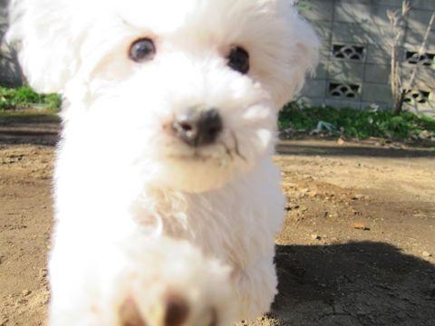 プードルフントヒュッテ東京トイプードルかわいい子犬こいぬ文京区本駒込hundehutte仔犬プードルショータイプブリーダープードルカットトイプードル画像578.jpg