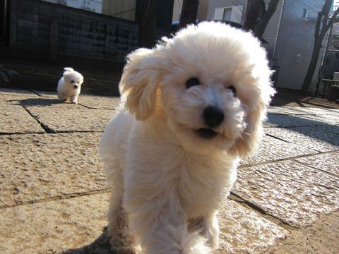 プードルフントヒュッテ東京トイプードルかわいい子犬こいぬ文京区本駒込hundehutte仔犬プードルショータイプブリーダープードルカットトイプードル画像579.jpg