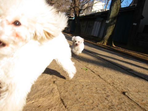 プードルフントヒュッテ東京トイプードルかわいい子犬こいぬ文京区本駒込hundehutte仔犬プードルショータイプブリーダープードルカットトイプードル画像580.jpg