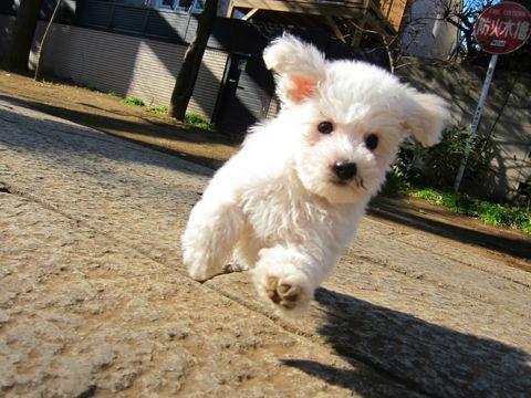 プードルフントヒュッテ東京トイプードルかわいい子犬こいぬ文京区本駒込hundehutte仔犬プードルショータイプブリーダープードルカットトイプードル画像581.jpg