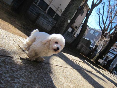 プードルフントヒュッテ東京トイプードルかわいい子犬こいぬ文京区本駒込hundehutte仔犬プードルショータイプブリーダープードルカットトイプードル画像589.jpg
