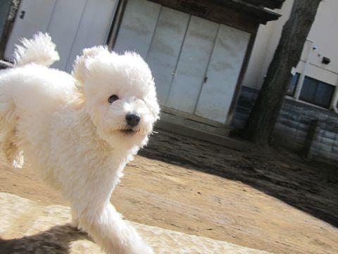 プードルフントヒュッテ東京トイプードルかわいい子犬こいぬ文京区本駒込hundehutte仔犬プードルショータイプブリーダープードルカットトイプードル画像590.jpg