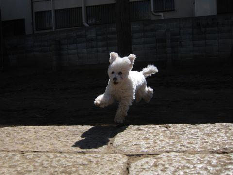 プードルフントヒュッテ東京トイプードルかわいい子犬こいぬ文京区本駒込hundehutte仔犬プードルショータイプブリーダープードルカットトイプードル画像592.jpg