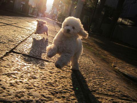 プードルフントヒュッテ東京トイプードルかわいい子犬こいぬ文京区本駒込hundehutte仔犬プードルショータイプブリーダープードルカットトイプードル画像594.jpg