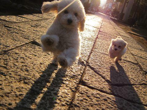 プードルフントヒュッテ東京トイプードルかわいい子犬こいぬ文京区本駒込hundehutte仔犬プードルショータイプブリーダープードルカットトイプードル画像595.jpg
