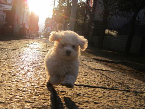 プードルフントヒュッテ東京トイプードルかわいい子犬こいぬ文京区本駒込hundehutte仔犬プードルショータイプブリーダープードルカットトイプードル画像597.jpg