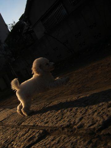 プードルフントヒュッテ東京トイプードルかわいい子犬こいぬ文京区本駒込hundehutte仔犬プードルショータイプブリーダープードルカットトイプードル画像598.jpg