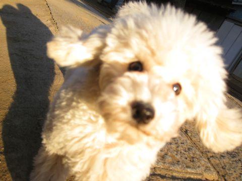 プードルフントヒュッテ東京トイプードルかわいい子犬こいぬ文京区本駒込hundehutte仔犬プードルショータイプブリーダープードルカットトイプードル画像599.jpg