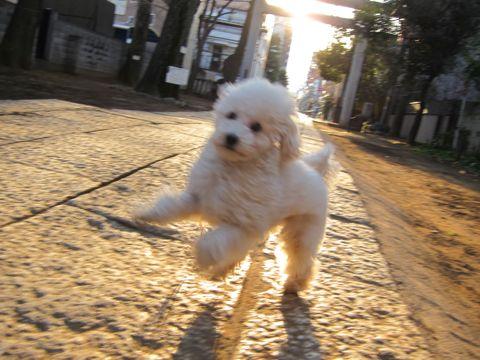 プードルフントヒュッテ東京トイプードルかわいい子犬こいぬ文京区本駒込hundehutte仔犬プードルショータイプブリーダープードルカットトイプードル画像600.jpg