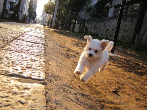 プードルフントヒュッテ東京トイプードルかわいい子犬こいぬ文京区本駒込hundehutte仔犬プードルショータイプブリーダープードルカットトイプードル画像601.jpg