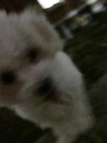 プードルフントヒュッテ東京トイプードルかわいい子犬こいぬ文京区本駒込hundehutte仔犬プードルショータイプブリーダープードルカットトイプードル画像607.jpg