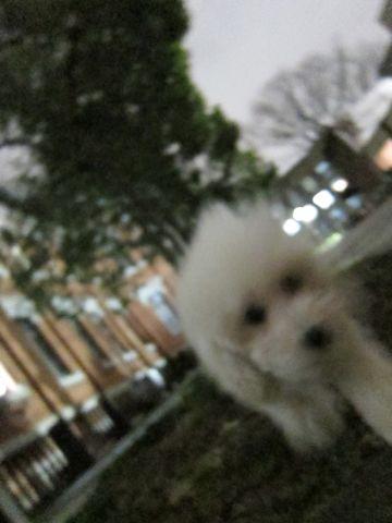 プードルフントヒュッテ東京トイプードルかわいい子犬こいぬ文京区本駒込hundehutte仔犬プードルショータイプブリーダープードルカットトイプードル画像608.jpg