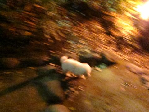 プードルフントヒュッテ東京トイプードルかわいい子犬こいぬ文京区本駒込hundehutte仔犬プードルショータイプブリーダープードルカットトイプードル画像610.jpg