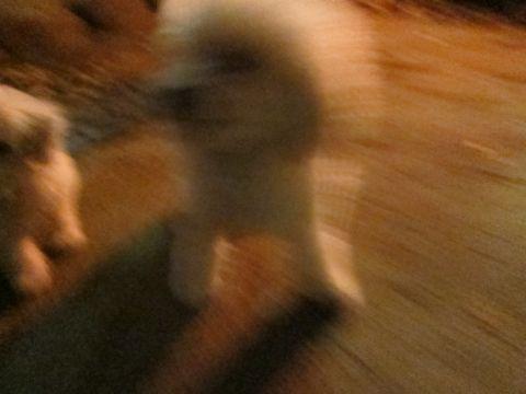 プードルフントヒュッテ東京トイプードルかわいい子犬こいぬ文京区本駒込hundehutte仔犬プードルショータイプブリーダープードルカットトイプードル画像611.jpg