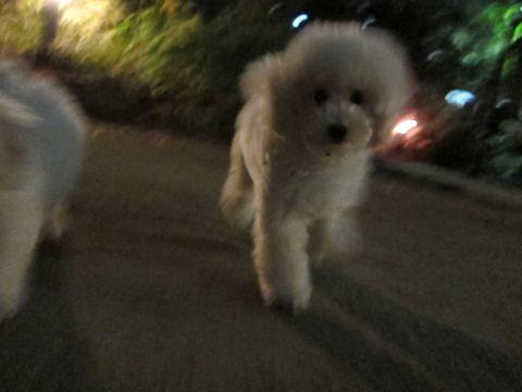 プードルフントヒュッテ東京トイプードルかわいい子犬こいぬ文京区本駒込hundehutte仔犬プードルショータイプブリーダープードルカットトイプードル画像613.jpg