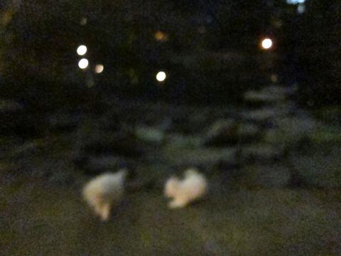 プードルフントヒュッテ東京トイプードルかわいい子犬こいぬ文京区本駒込hundehutte仔犬プードルショータイプブリーダープードルカットトイプードル画像614.jpg