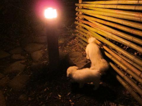 プードルフントヒュッテ東京トイプードルかわいい子犬こいぬ文京区本駒込hundehutte仔犬プードルショータイプブリーダープードルカットトイプードル画像625.jpg