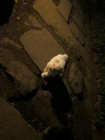プードルフントヒュッテ東京トイプードルかわいい子犬こいぬ文京区本駒込hundehutte仔犬プードルショータイプブリーダープードルカットトイプードル画像627.jpg