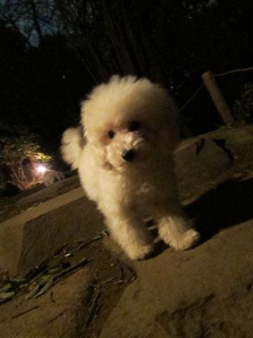 プードルフントヒュッテ東京トイプードルかわいい子犬こいぬ文京区本駒込hundehutte仔犬プードルショータイプブリーダープードルカットトイプードル画像628.jpg