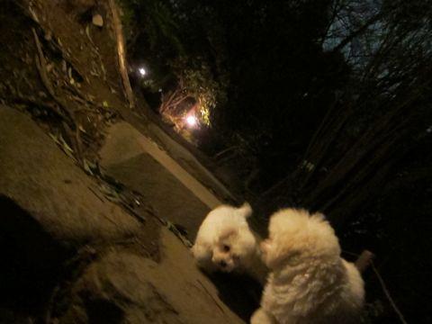 プードルフントヒュッテ東京トイプードルかわいい子犬こいぬ文京区本駒込hundehutte仔犬プードルショータイプブリーダープードルカットトイプードル画像629.jpg