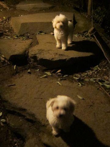 プードルフントヒュッテ東京トイプードルかわいい子犬こいぬ文京区本駒込hundehutte仔犬プードルショータイプブリーダープードルカットトイプードル画像630.jpg