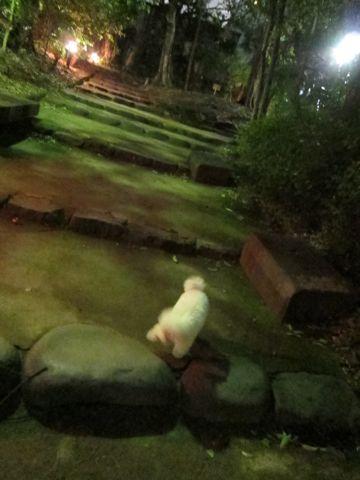 プードルフントヒュッテ東京トイプードルかわいい子犬こいぬ文京区本駒込hundehutte仔犬プードルショータイプブリーダープードルカットトイプードル画像636.jpg