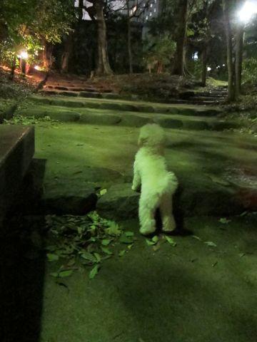 プードルフントヒュッテ東京トイプードルかわいい子犬こいぬ文京区本駒込hundehutte仔犬プードルショータイプブリーダープードルカットトイプードル画像638.jpg