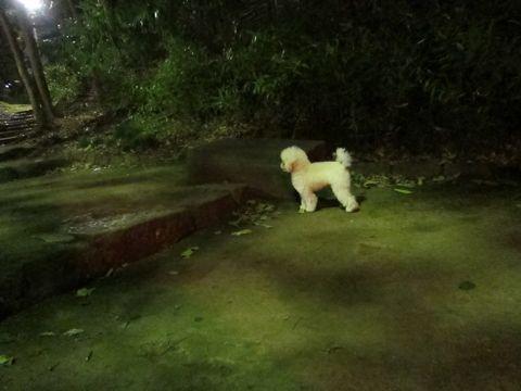 プードルフントヒュッテ東京トイプードルかわいい子犬こいぬ文京区本駒込hundehutte仔犬プードルショータイプブリーダープードルカットトイプードル画像639.jpg