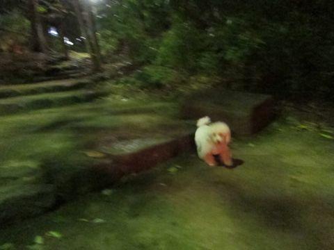 プードルフントヒュッテ東京トイプードルかわいい子犬こいぬ文京区本駒込hundehutte仔犬プードルショータイプブリーダープードルカットトイプードル画像640.jpg