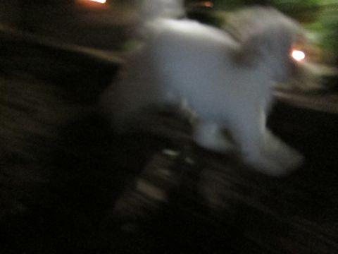 プードルフントヒュッテ東京トイプードルかわいい子犬こいぬ文京区本駒込hundehutte仔犬プードルショータイプブリーダープードルカットトイプードル画像642.jpg