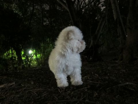 プードルフントヒュッテ東京トイプードルかわいい子犬こいぬ文京区本駒込hundehutte仔犬プードルショータイプブリーダープードルカットトイプードル画像644.jpg