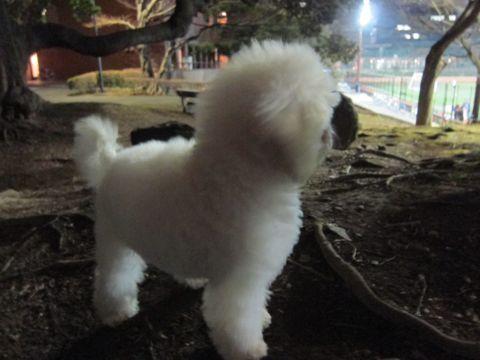 プードルフントヒュッテ東京トイプードルかわいい子犬こいぬ文京区本駒込hundehutte仔犬プードルショータイプブリーダープードルカットトイプードル画像647.jpg
