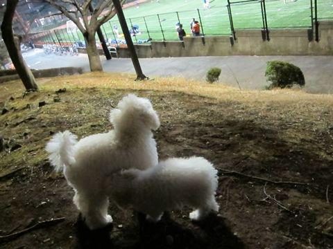 プードルフントヒュッテ東京トイプードルかわいい子犬こいぬ文京区本駒込hundehutte仔犬プードルショータイプブリーダープードルカットトイプードル画像651.jpg