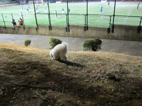 プードルフントヒュッテ東京トイプードルかわいい子犬こいぬ文京区本駒込hundehutte仔犬プードルショータイプブリーダープードルカットトイプードル画像652.jpg