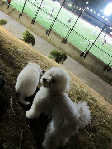 プードルフントヒュッテ東京トイプードルかわいい子犬こいぬ文京区本駒込hundehutte仔犬プードルショータイプブリーダープードルカットトイプードル画像654.jpg
