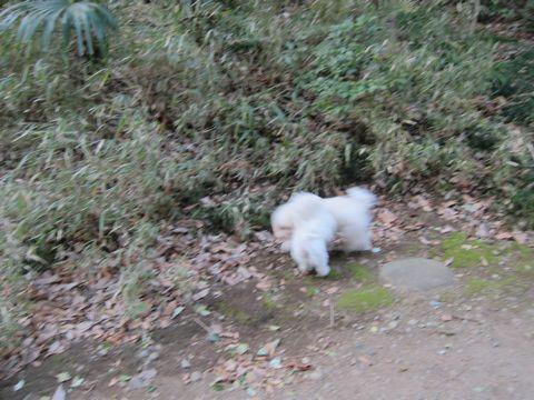 プードルフントヒュッテ東京トイプードルかわいい子犬こいぬ文京区本駒込hundehutte仔犬プードルショータイプブリーダープードルカットトイプードル画像662.jpg