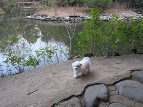 プードルフントヒュッテ東京トイプードルかわいい子犬こいぬ文京区本駒込hundehutte仔犬プードルショータイプブリーダープードルカットトイプードル画像664.jpg