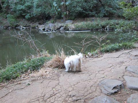 プードルフントヒュッテ東京トイプードルかわいい子犬こいぬ文京区本駒込hundehutte仔犬プードルショータイプブリーダープードルカットトイプードル画像665.jpg