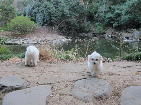 プードルフントヒュッテ東京トイプードルかわいい子犬こいぬ文京区本駒込hundehutte仔犬プードルショータイプブリーダープードルカットトイプードル画像666.jpg