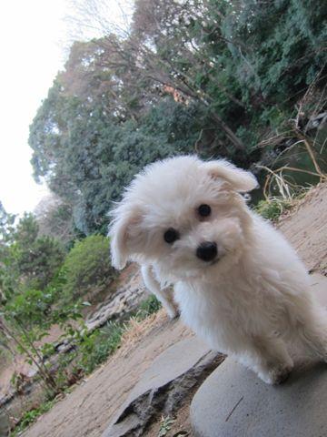 プードルフントヒュッテ東京トイプードルかわいい子犬こいぬ文京区本駒込hundehutte仔犬プードルショータイプブリーダープードルカットトイプードル画像667.jpg