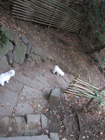 プードルフントヒュッテ東京トイプードルかわいい子犬こいぬ文京区本駒込hundehutte仔犬プードルショータイプブリーダープードルカットトイプードル画像676.jpg