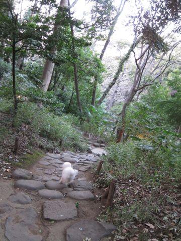 プードルフントヒュッテ東京トイプードルかわいい子犬こいぬ文京区本駒込hundehutte仔犬プードルショータイプブリーダープードルカットトイプードル画像680.jpg