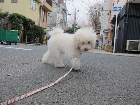 プードルフントヒュッテ東京トイプードルかわいい子犬こいぬ文京区本駒込hundehutte仔犬プードルショータイプブリーダープードルカットトイプードル画像691.jpg