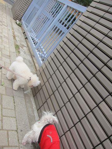 プードルフントヒュッテ東京トイプードルかわいい子犬こいぬ文京区本駒込hundehutte仔犬プードルショータイプブリーダープードルカットトイプードル画像692.jpg