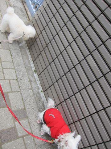 プードルフントヒュッテ東京トイプードルかわいい子犬こいぬ文京区本駒込hundehutte仔犬プードルショータイプブリーダープードルカットトイプードル画像693.jpg