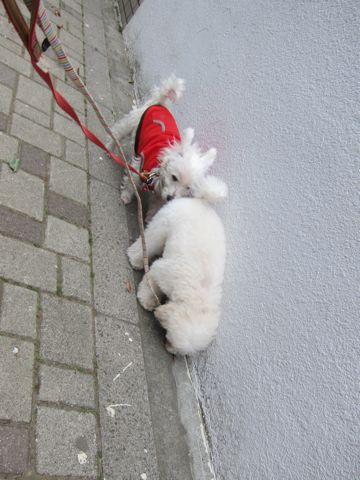 プードルフントヒュッテ東京トイプードルかわいい子犬こいぬ文京区本駒込hundehutte仔犬プードルショータイプブリーダープードルカットトイプードル画像694.jpg