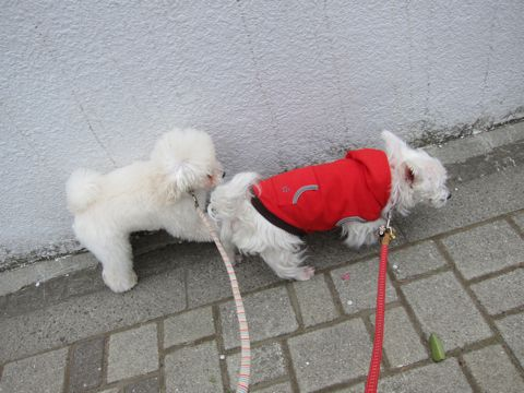 プードルフントヒュッテ東京トイプードルかわいい子犬こいぬ文京区本駒込hundehutte仔犬プードルショータイプブリーダープードルカットトイプードル画像697.jpg