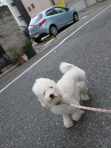 プードルフントヒュッテ東京トイプードルかわいい子犬こいぬ文京区本駒込hundehutte仔犬プードルショータイプブリーダープードルカットトイプードル画像699.jpg